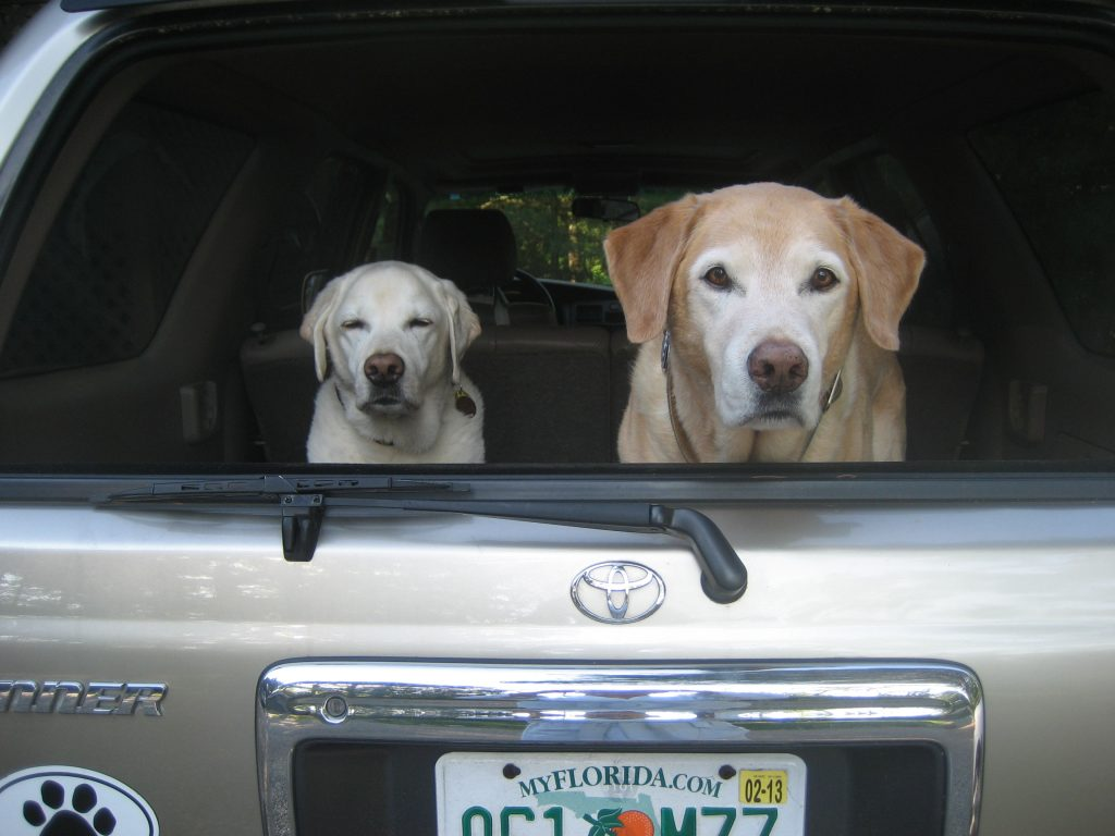 Susan's Labradors waiting eagerly in the back of the car for a bagel.