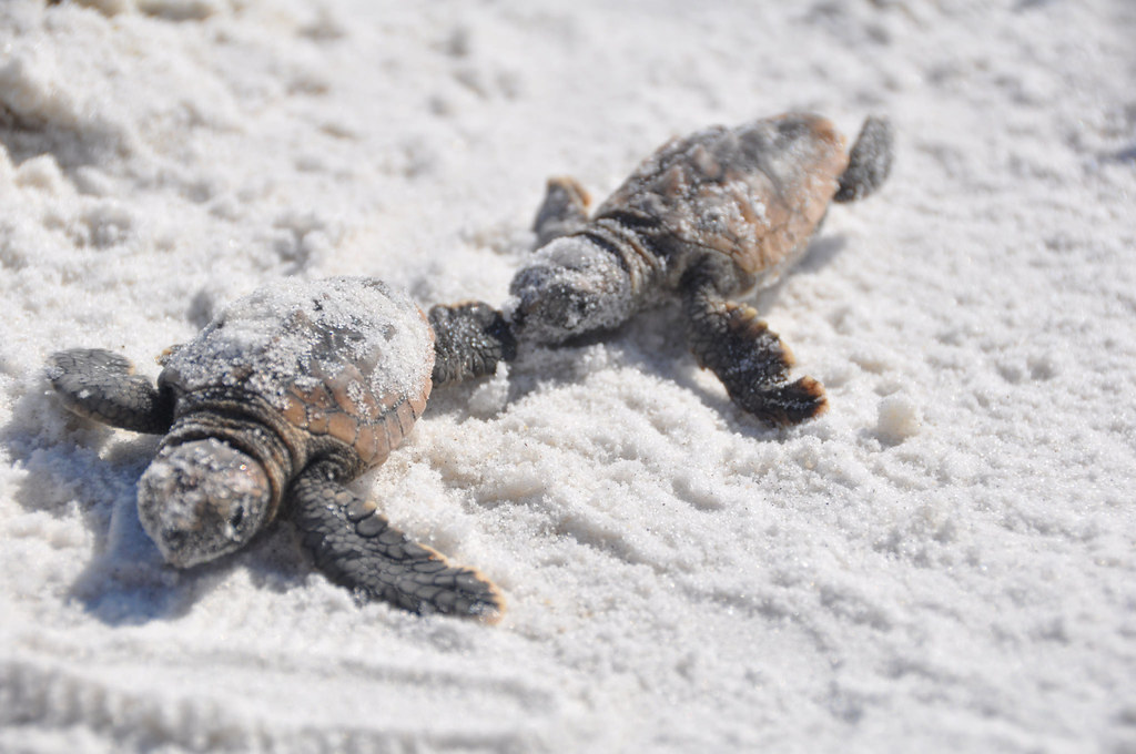 Baby loggerhead sea turtles navigating the sugary sands of Florida's Emerald Coast. Image from user mypubliclands on Flickr.