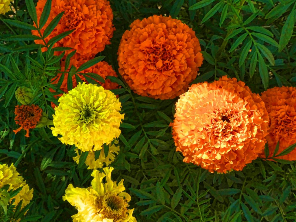 Marigolds are a miracle flower when it comes to warding off garden pests.