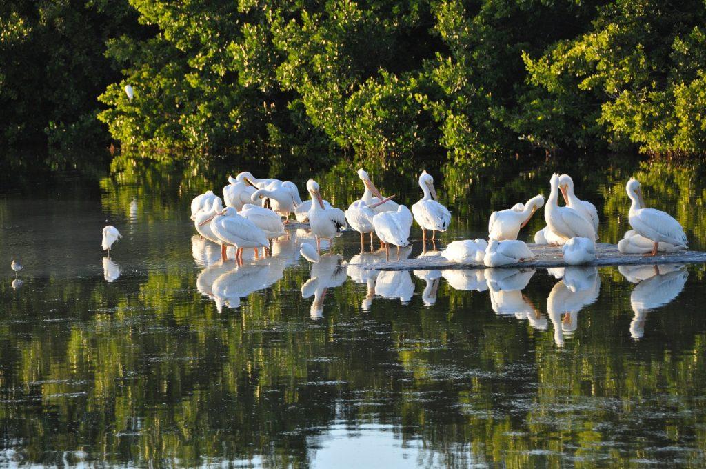Celebrate spring with Sanibel Island's beautiful pelicans.